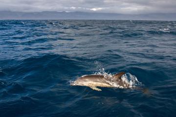 Golfinho Riscado nos Açores
