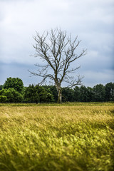 Lonely dead tree on a field. Country landscape in Poland.