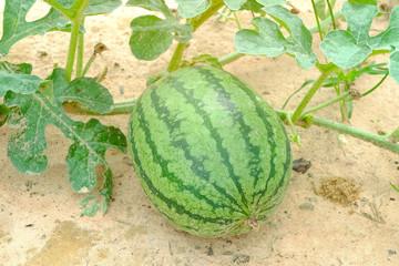 Watermelon in farm