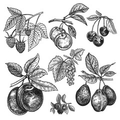 Vintage realistic vector illustration fruits and berries.