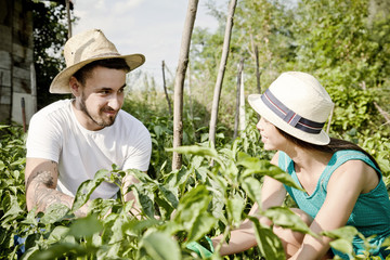 Young couple harvesting bell pepper in vegetable garden