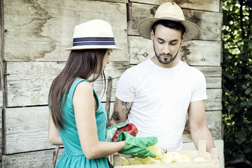 Young couple harvesting vegetables in vegetable garden