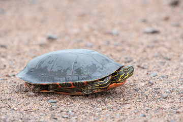 Painted Turtle Tucked into its Shell