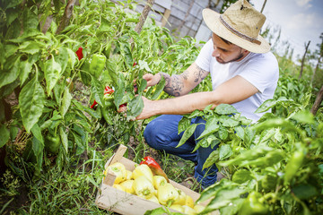 Young man harvesting bell peppers