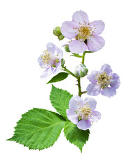 raspberry blossoming branch. Strawberry blossom with leaves isolated on white. Rubus fruticosus (raspberry). Raspberries branch with peach flowers