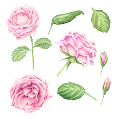 Hand-drawn watercolor pastel pink rose blossoms set with green leaves, floral botanical illustration isolated on white background.