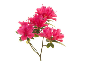 Spoed Fotobehang Azalea Pink blosseming azalea flowers on a branch isolated on a white background