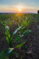 Foto op Plexiglas Groene Corn field at sunset - horizontal