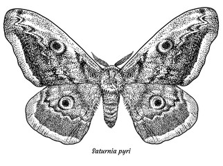 Giant peacock moth illustration, drawing, engraving, ink, line art, vector