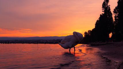 Lake Leman sunset and beautiful swan