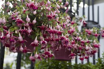 the Fuchsia Lancashire Lad as a decoration of garden