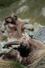 Alpine Ibex in montagna nel suo ambiente naturale