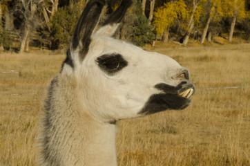 Llama with Crooked Teeth