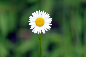 Beautiful alone field daisy flower with white petals grows in summer day on green blur background. Horizontal view closeup