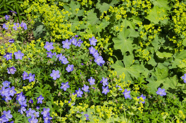 DCranesbill Geraniums and Lady's Mantle Plants in Full Bloom