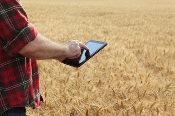 Agronomist or farmer  inspecting quality of wheat plant field using tablet, ready for harvest