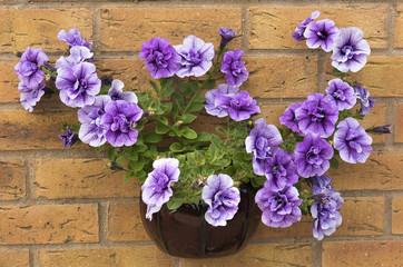 Wall mounted pot of purple surfina petunias