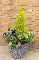 Container panted with evergreen shrub and blue and yellow pansies.