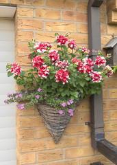 Wicker hanging basket with multi-colored pink and white petunia flowers