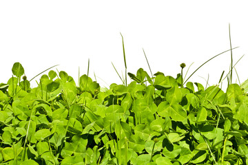 Limb  in a meadow against a white background. Spring meadow with clover in the grass.