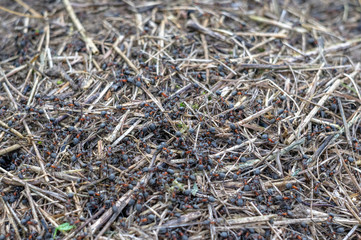 Ants and anthill in the forest. Macro photo.