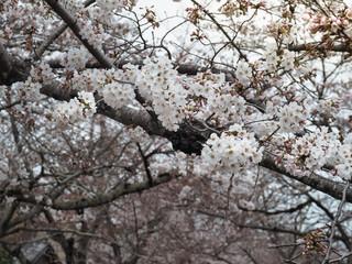 Beautiful Sakura Flowers in Japan, Selective Focus
