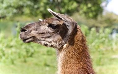 Beautiful isolated image of a llama standing awake