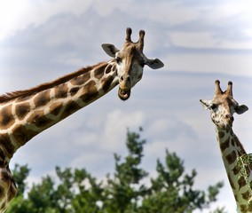 Beautiful photo of two cute giraffes eating leaves