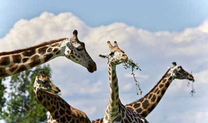 Background with four cute giraffes eating leaves
