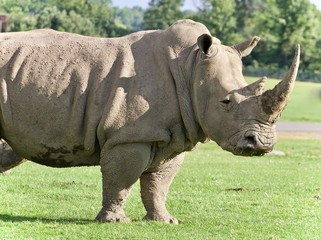 Background with a rhinoceros standing awake