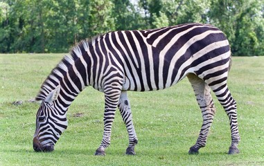 Beautiful background with a zebra eating the grass