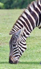 Isolated picture with a zebra eating the grass