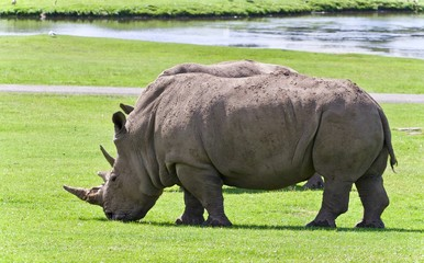 Photo of a pair of rhinoceroses eating the grass