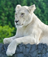 Picture with a white lion looking aside in a field