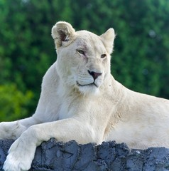 Isolated photo of a white lion looking aside