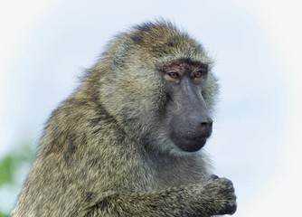 Postcard with a funny baboon looking aside