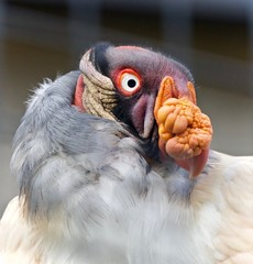 Photo of a funny vivid king vulture looking aside