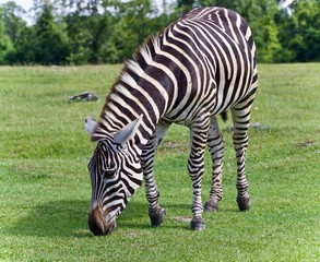 Isolated photo of a zebra eating the grass