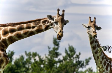 Isolated photo of two cute giraffes eating leaves