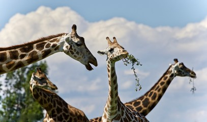 Isolated image of few cute giraffes eating leaves
