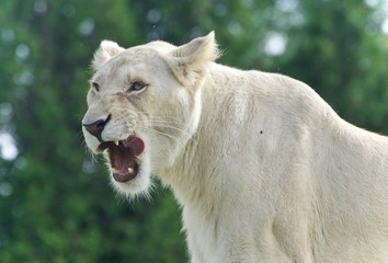Photo of a scary white lion screaming in a field