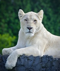 Isolated photo of a white lion looking at camera