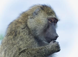 Isolated picture with a funny baboon looking aside