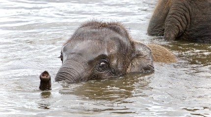 Picture with a funny young elephant swimming