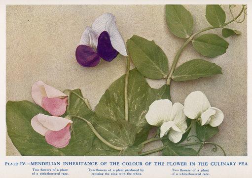 Mendel - Inheritance - Peas. Date: 1911