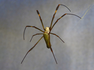 dotted spider