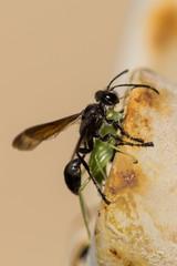 Bilder Und Videos Suchen Schwarze Wespe