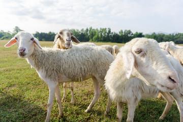 Sheep herd in field