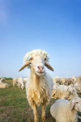 The sheep herd in meadow