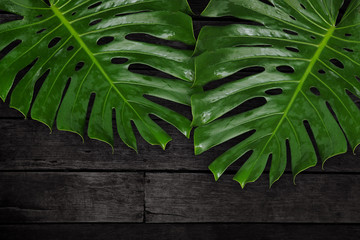 Green leaf Monstera on black wood table, Tropical plant, Copy space.